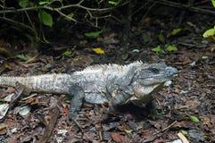 Игуана Белиза Стоковая Фотография RF