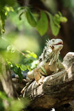 Игуана взбираясь и идя на ветвь дерева стоковое фото