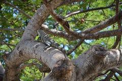Игуана в дереве стоковые изображения rf