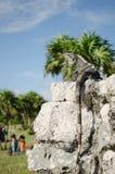 Игуана в руинах Tulum, Мексики стоковая фотография rf