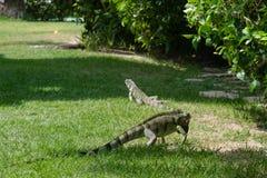 Игуана в саде - dos Carneiros Прая, Pernambuco, Бразилия Стоковое Изображение