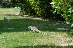 Игуана в саде - dos Carneiros Прая, Pernambuco, Бразилия Стоковое Изображение RF