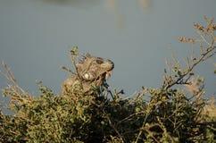 Игуана в траве Стоковая Фотография RF