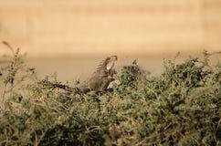 Игуана в траве Стоковые Фотографии RF