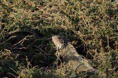 Игуана в траве Стоковые Изображения