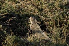 Игуана в траве Стоковое Изображение