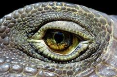 игуана глаза Стоковые Изображения