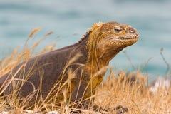 Игуана земли Галапагос Стоковое Изображение RF