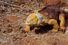Игуана земли Галапагос Стоковая Фотография RF