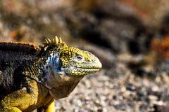 Игуана земли в островах Галапагос Стоковые Фотографии RF