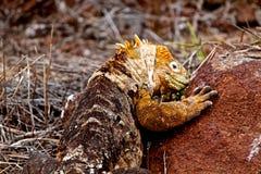 Игуана земли Галапагос Стоковые Изображения RF
