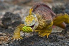 Игуана земли ест кактус острова galapagos океан pacific эквадор Стоковые Изображения
