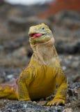 Игуана земли ест кактус острова galapagos океан pacific эквадор Стоковые Фотографии RF