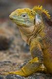 Игуана земли сидя на утесах острова galapagos океан pacific эквадор Стоковые Изображения