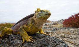 Игуана земли сидя на утесах острова galapagos океан pacific эквадор Стоковая Фотография RF