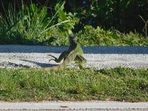 Игуана идя вдоль дороги стоковые изображения rf