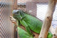Игуана или зеленая игуана в клетке Стоковые Изображения