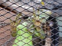 Игуана или зеленая игуана в клетке Стоковое Изображение