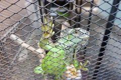 Игуана или зеленая игуана в клетке Стоковая Фотография