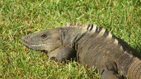 Игуана Колючий-замкнутая чернотой в траве Стоковое Фото