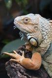 игуана крупного плана цветастая тропическая Стоковая Фотография RF