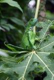 игуана младенца Стоковое Фото