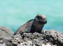 Игуана моря островов Галапагос стоковое фото rf