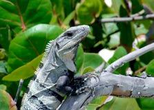 Игуана на ветви стоковое изображение rf