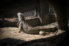 Игуана на зоопарке Dusit в Бангкоке , Таиланд Стоковые Изображения RF