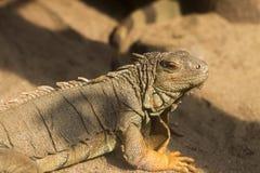 Игуана на песке Стоковая Фотография