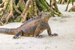 Игуана на пляже, островах Галапагос, эквадоре Стоковое Изображение