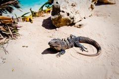 Игуана на пляже Стоковые Изображения RF