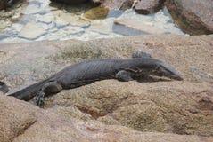 Игуана на утесах приближает к воде Стоковые Фото