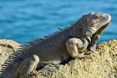 Игуана на утесе с океаном в предпосылке стоковая фотография rf