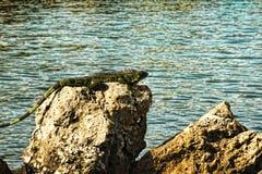 Игуана на утесе Стоковые Изображения RF