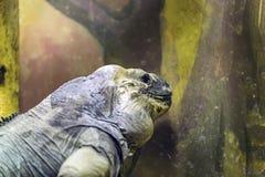 Игуана носорога, cornuta Cyclura, кладя в песок стоковые фото