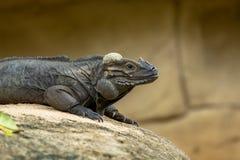 Игуана носорога, cornuta Cyclura, отдыхая на утесе стоковые изображения rf
