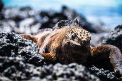 Игуана ослабляя Стоковая Фотография RF