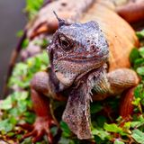 Игуана от эквадора стоковые фотографии rf