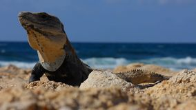 Игуана перед океаном видеоматериал
