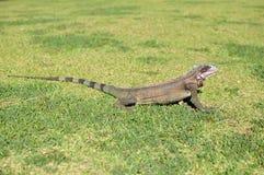 Игуана стоя на траве стоковая фотография