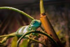 Игуана Фиджи Стоковое фото RF