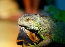 Игуана фото яркая ая-зелен Стоковое Фото