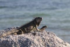 Игуана Флориды Стоковое Изображение