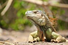 Игуана Центральной Америки: Бортовой лобовой профиль Стоковая Фотография