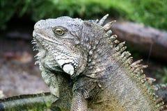 игуана эквадора стоковое изображение rf