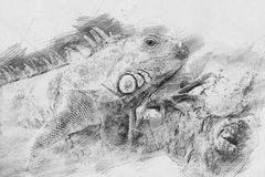 Игуана Эскиз с карандашем Стоковое Изображение