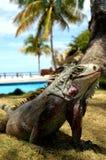 игуана Стоковые Фото