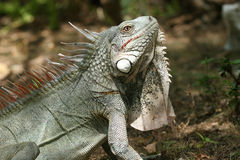 игуана Стоковое Фото