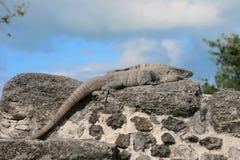 игуана Стоковые Изображения RF